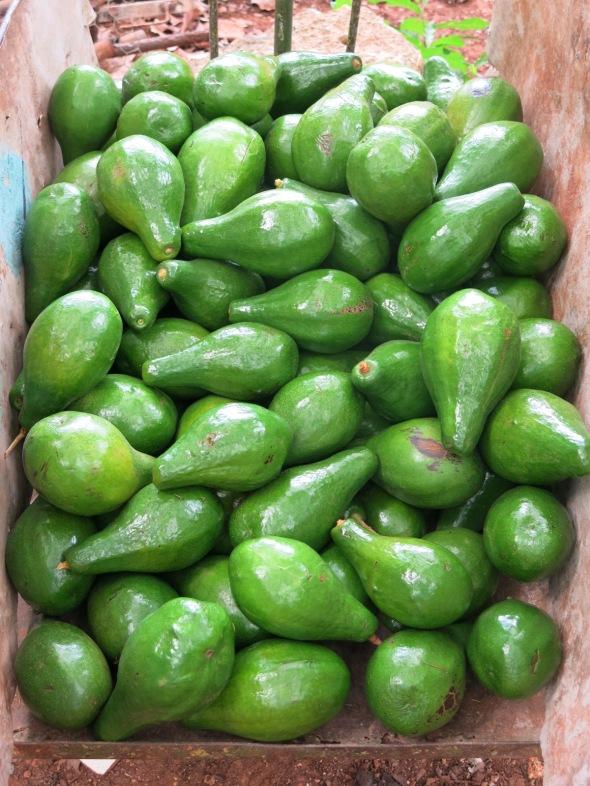 Avocados Ready for Market